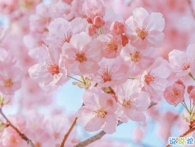 春天桃花盛开的说说带图片 赏花晒花的朋友圈文案1