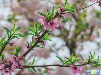 春天桃花盛开的说说带图片 赏花晒花的朋友圈文案14